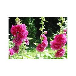 Hatim Yaprak Çiçek Tohumu - 80 Adet