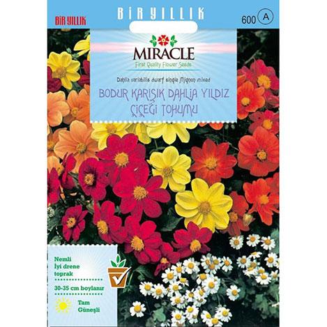 Miracle Karışık Renkli Bodur Mignon Dahlia Çiçeği Tohumu - 80 Tohum