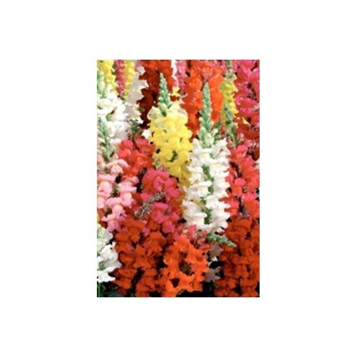 Resim  Yaprak Aslan Ağzı Çiçeği Tohumu